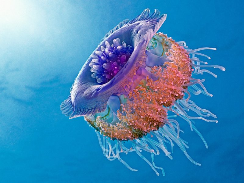 funny Crown jellyfish