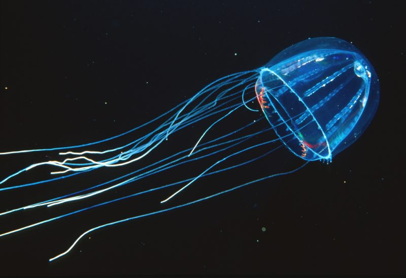 transparent jellyfish