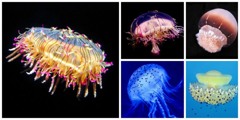 jellyfish photos