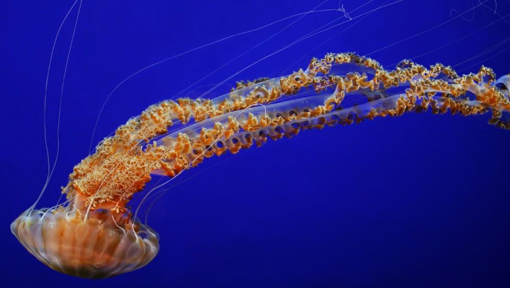 12 Most Beautiful Jellyfish Species on Earth!