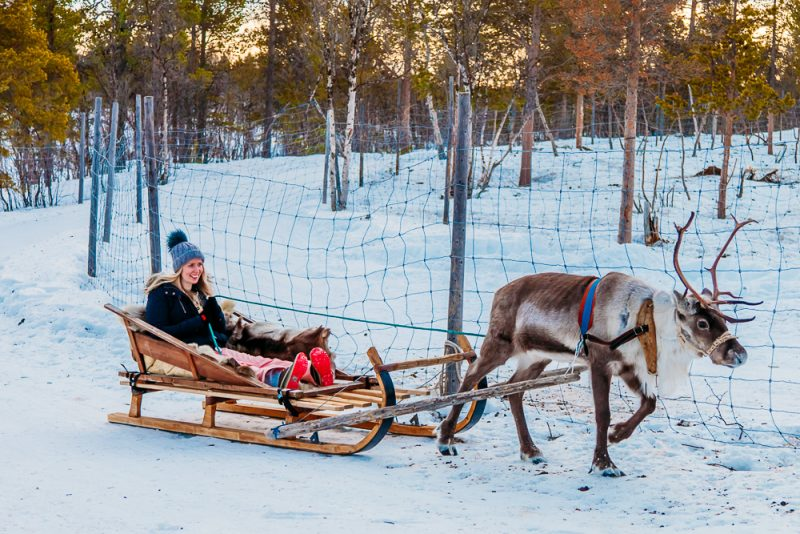 abisko-christmas-swedish-lapland-photo-reindeers