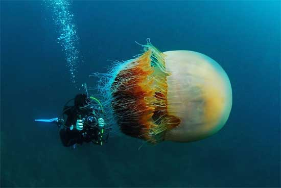 The Largest Jellyfish