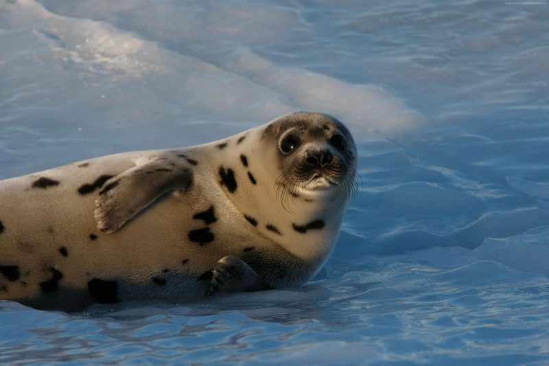 Snow White Seal Pups Cutest Creatures In The World Video