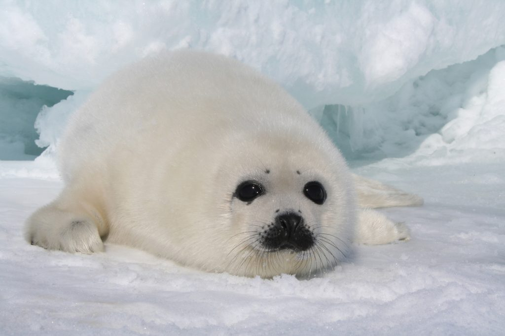 Snow-White Seal Pups - Cutest Creatures in the World (Video)