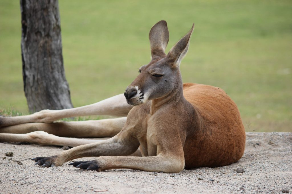 kangaroo-facts-australia-photo
