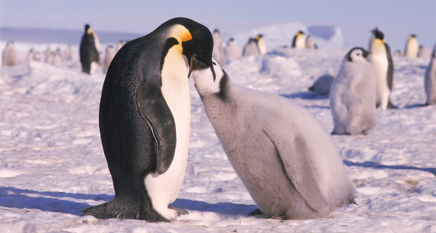penguins-photo