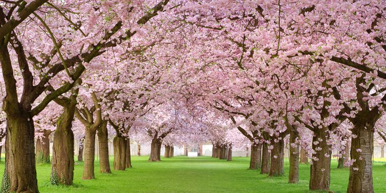 cherry-blossoms-pic
