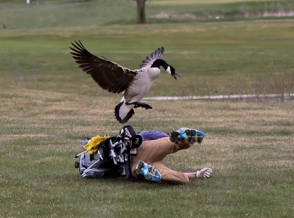Goose vs Humans: 4 Cases Of Badass Geese Attacks That Will Make You Laugh All Day
