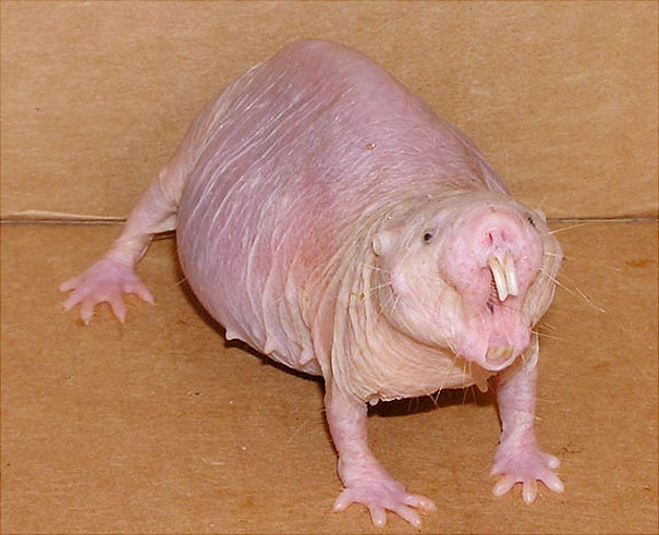 naked-rat-photo