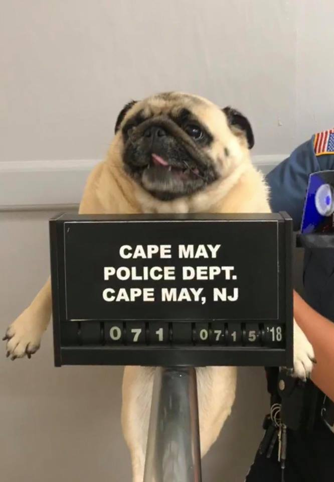 Pug Got Arrested and Released for Cookies + 5 More Animals Taken by Paw-lice and Placed Behind the Bars (Hilarious PHOTOS)
