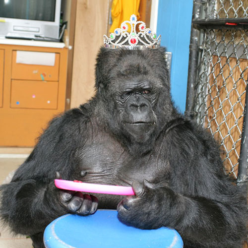 Koko-gorilla-dies-photo