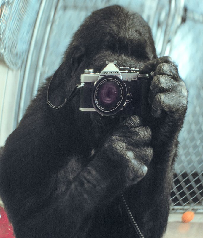 koko-th-egorilla-photo