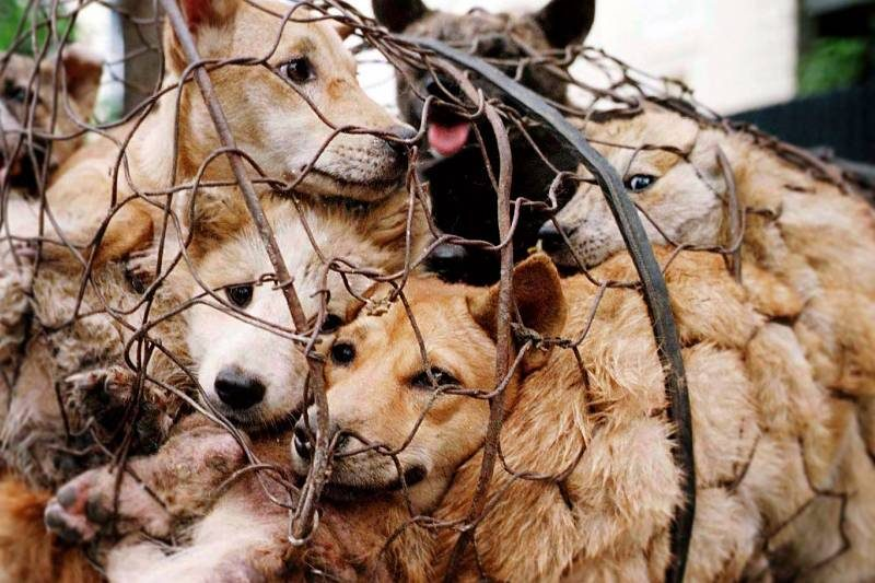 Yulin-Dog-Meat-Festival-pics