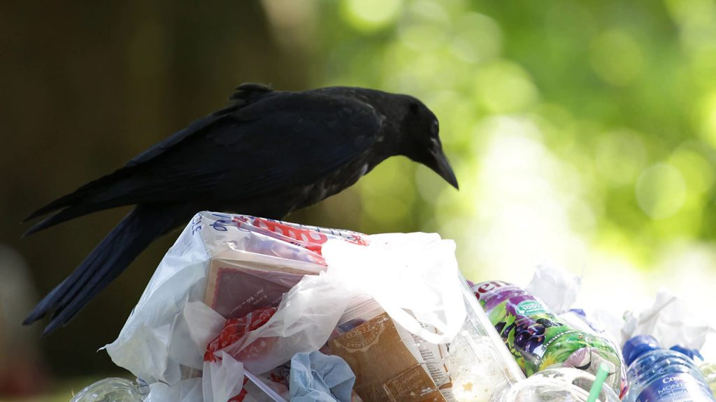Intelligent Birds Solve Trash Problem: Trained Rooks Clean Up After People at French Park!