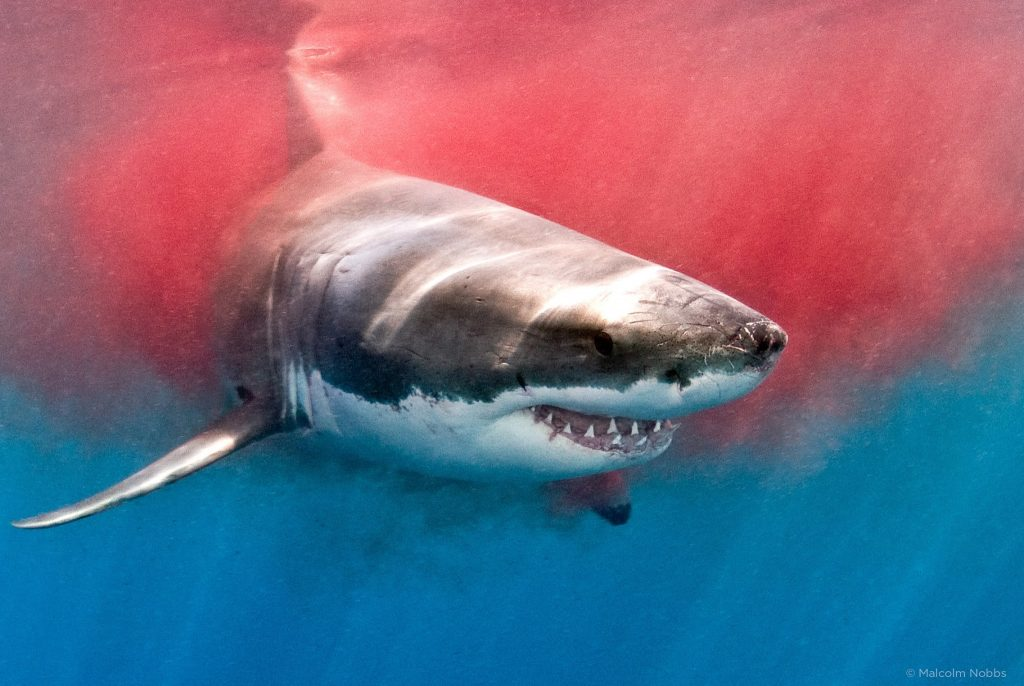 shark-attack-pic