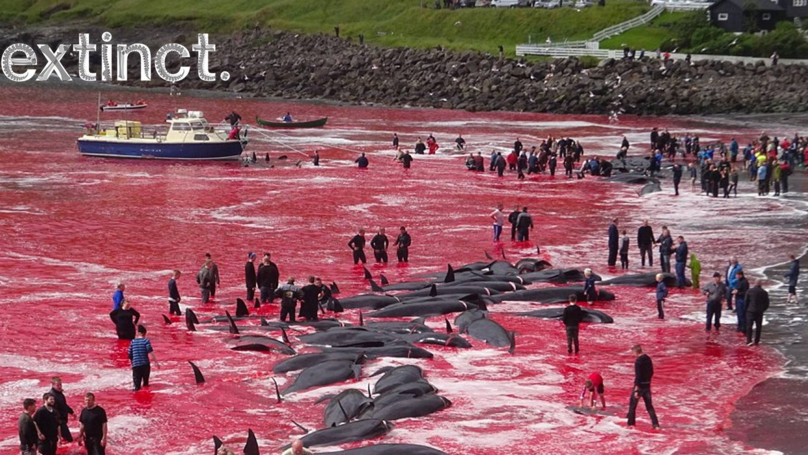 Brutal Slaughtering: Sea Filled With Red Tears as 180 Whales Killed on Faroe Islands - Horrific Photos!