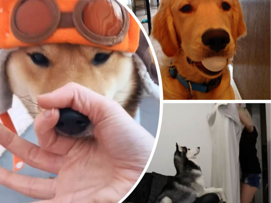 Ridiculously Cute Dog Challenges in 2018: #SnootChallenge, #WhatTheFluff and 2 Viral Videos
