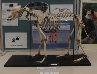 Someone Stole Four Rare Animal Skeletons From A University Campus Museum in Sydney, Australia - Who Could Do It and Why??