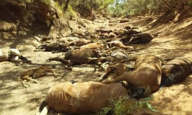 australia-shocking-mass-death-horses-heat-photo