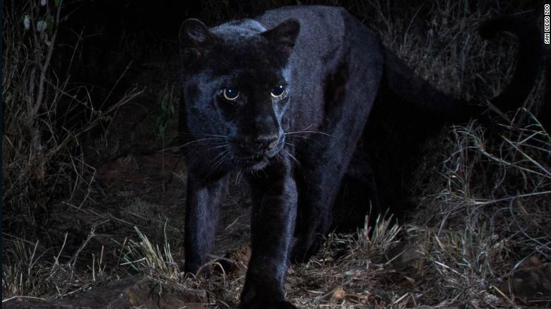 Rare Black Leopard Spotted in Africa, Joaquin 'El Chapo' Guzman Found Guilty + 3 More Hot News of Wednesday, Feb.13