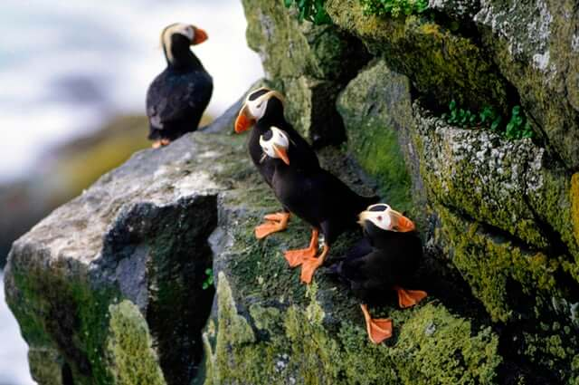puffins-died-climate-change-photo