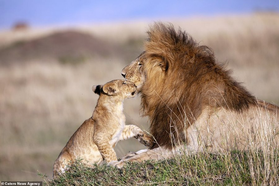 real-life-lion-king-moment-photo