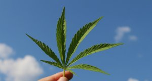 hemp-leaf-photo