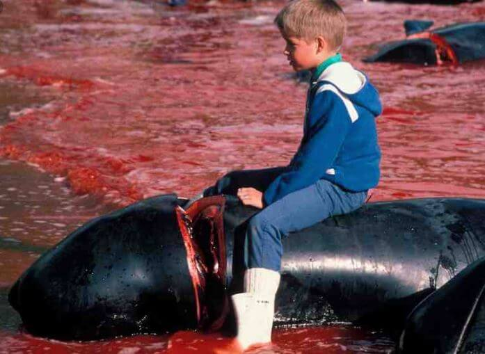 Blood Price: 23 Whales Are Viciously Murdered On Faroe Islands - Read WHY