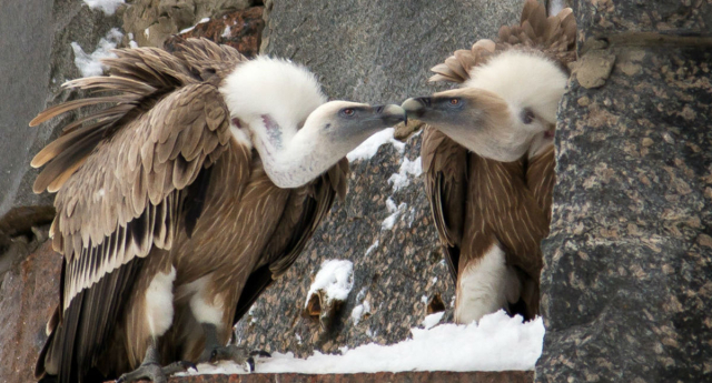 vulture-gay-photo