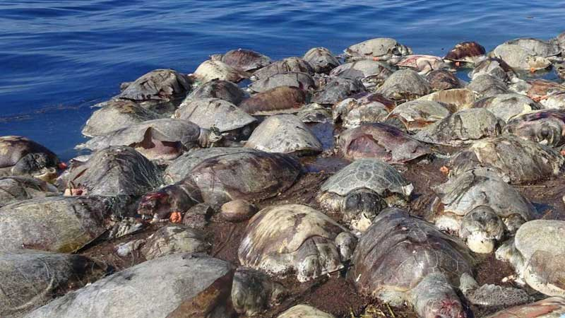 mexico-300-turtles-killed-net-photo