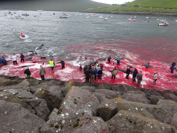 whales-faroe-islands-red-sea-photo
