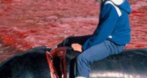 faroe-islands-killed-whales-photo