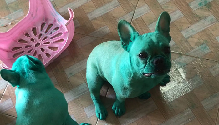 french-bulldogs-green-hulk-photo